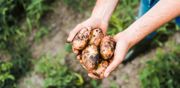 cropped image of farmer holding ripe potatoes in hands in field cropped image of farmer holding ripe potatoes in hands in field homegrown produce stock pictures, royalty-free photos & images