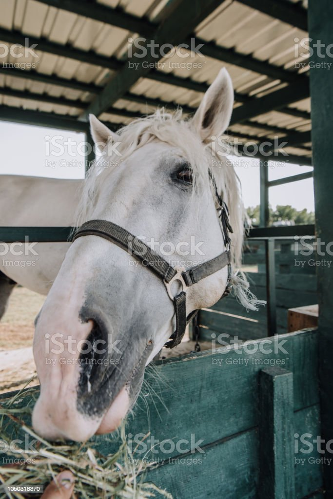 Cropped Image Of Person Feeding White Horse In Stable At Farm Stock Photo Download Image Now Istock