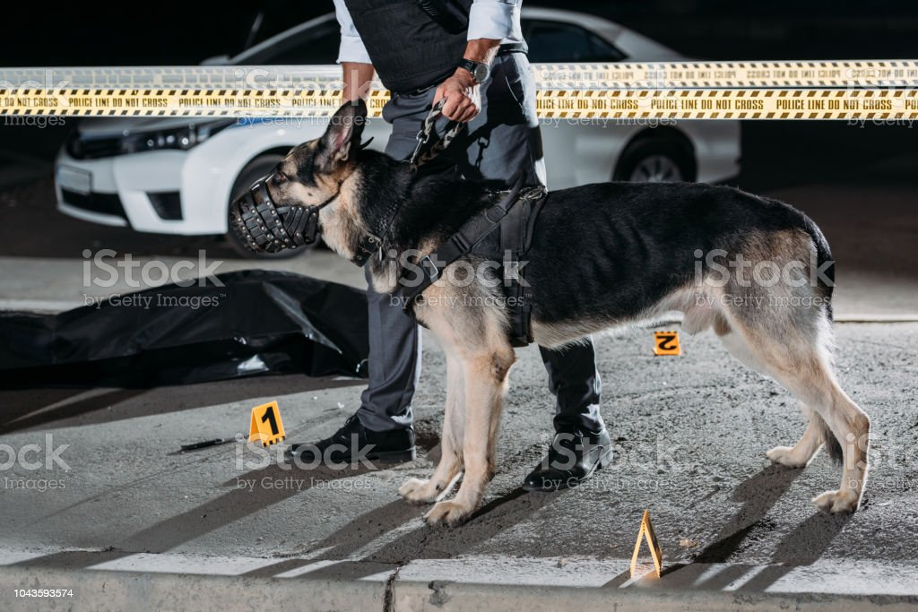 cropped image of policeman holding alsatian dog on leash near cross line at crime scene with corpse in body bag stock photo