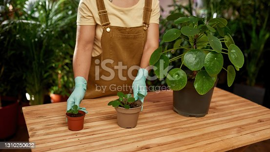 istock Cropped shot of female gardener wearing protective gloves standing near the table, replanting potted houseplants on it 1310250622