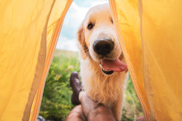 cropped view of traveler in tent with funny golden retriever dog stock photo