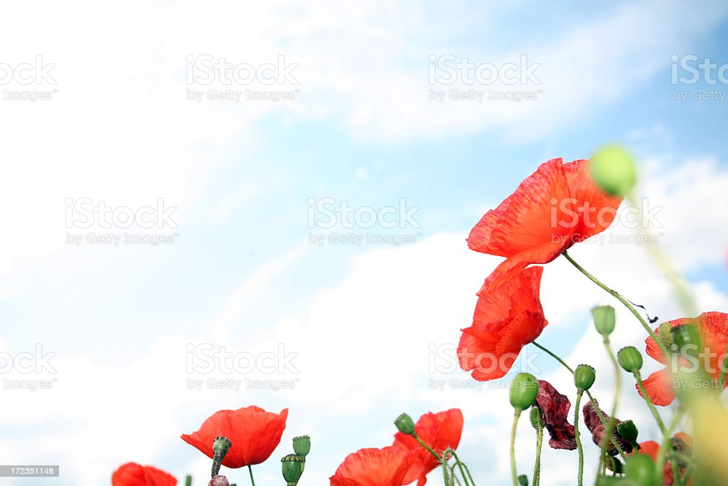 Cropped view of wild poppies with sky in the background stock photo