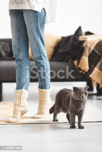 cropped view of woman with grey scottish fold cat in living room