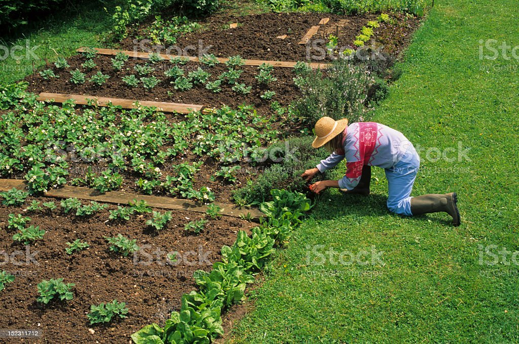 Cropping in the Vegetable Garden royalty-free stock photo