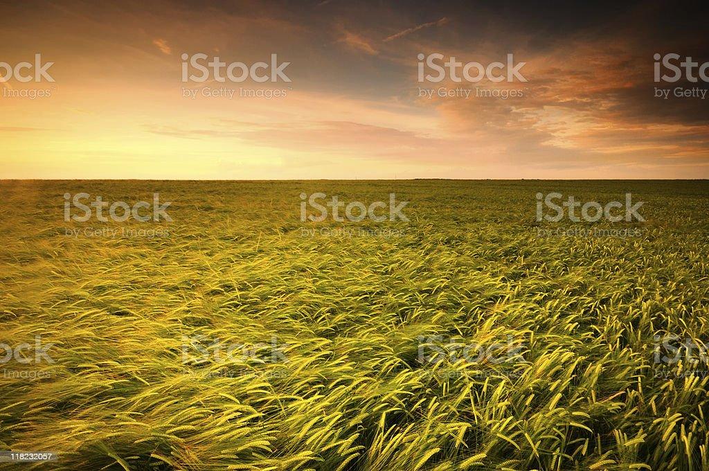 Crops at Sunset royalty-free stock photo