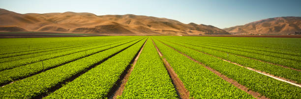 Crops grow in rows on a rural farm panorama stock photo