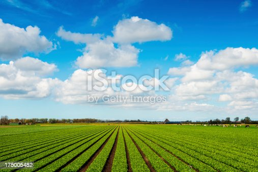 Crops Grow on Fertile Farm Field. One beautiful agricultural composition with green row celery field, beautiful spring cloudscape over the land and cows in the background.