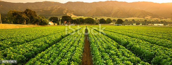 A green row panorama of fresh crops grow on an agricultural farm field in the Salinas Valley, California USA