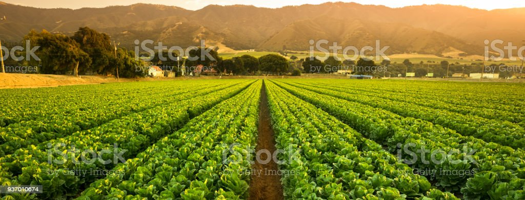 Crops grow on fertile farm land panoramic before harvest stock photo