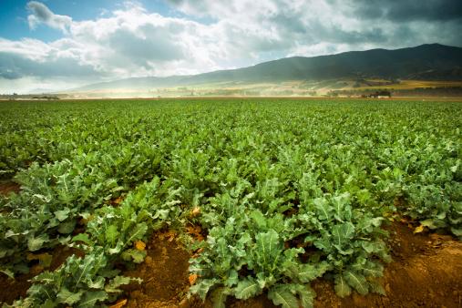 185274428 istock photo Crops grow on fertile farm land 175416549