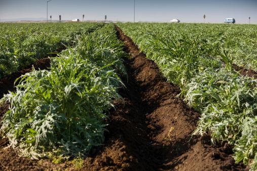 185274428 istock photo Crops grow on fertile farm land 185248225