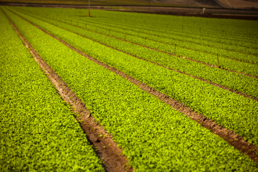 185274428 istock photo Crops grow on fertile farm land 185248248