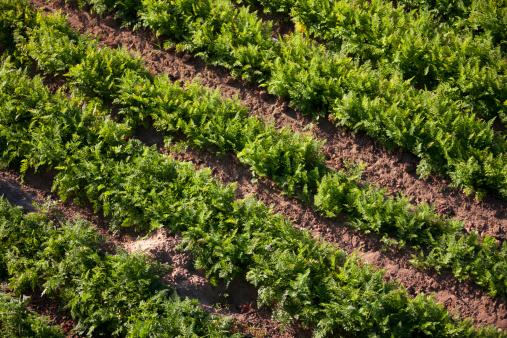 185274428 istock photo Crops grow on fertile farm land 185268815