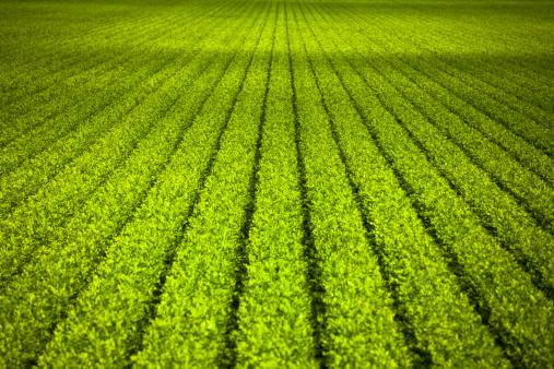 185274428 istock photo Crops grow on fertile farm land 185286913