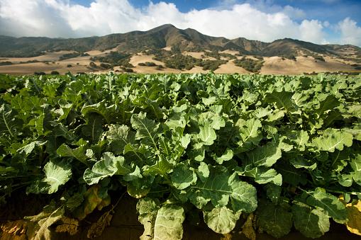 185274428 istock photo Crops grow on fertile farm land 471399559