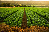 A green row of fresh crops grow on an agricultural farm field in the Salinas Valley, California USA