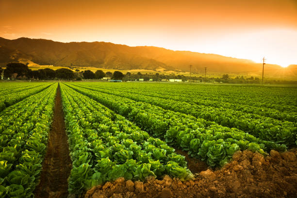 crops grow on fertile farm land - lettuce stock pictures, royalty-free photos & images