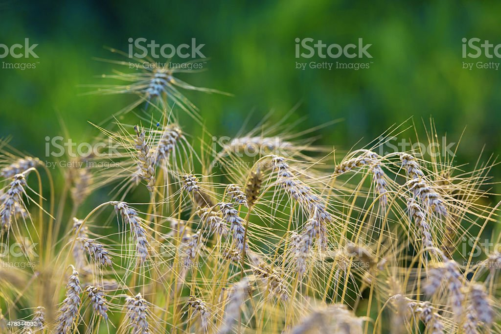 Crops growing stock photo