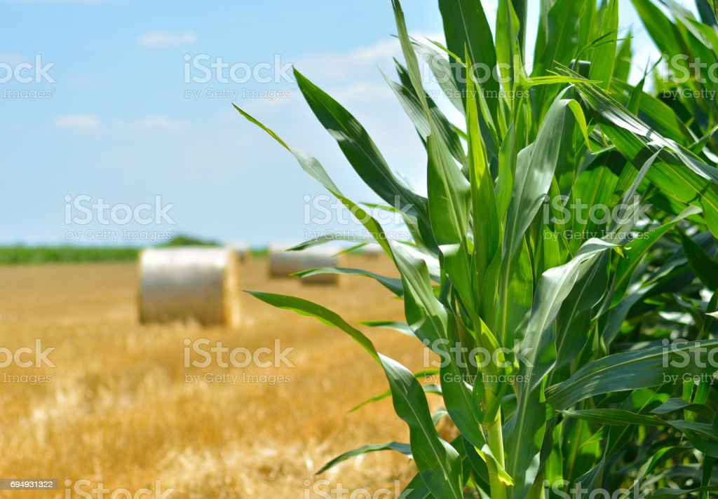 Crops. Time of harwesting. stock photo