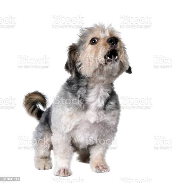 Cross breed dog barking 4 years old in front of white background picture id981532414?b=1&k=6&m=981532414&s=612x612&h=xsftk6qat4 ulyacvottl t7jojoeygavrpojcldrgw=