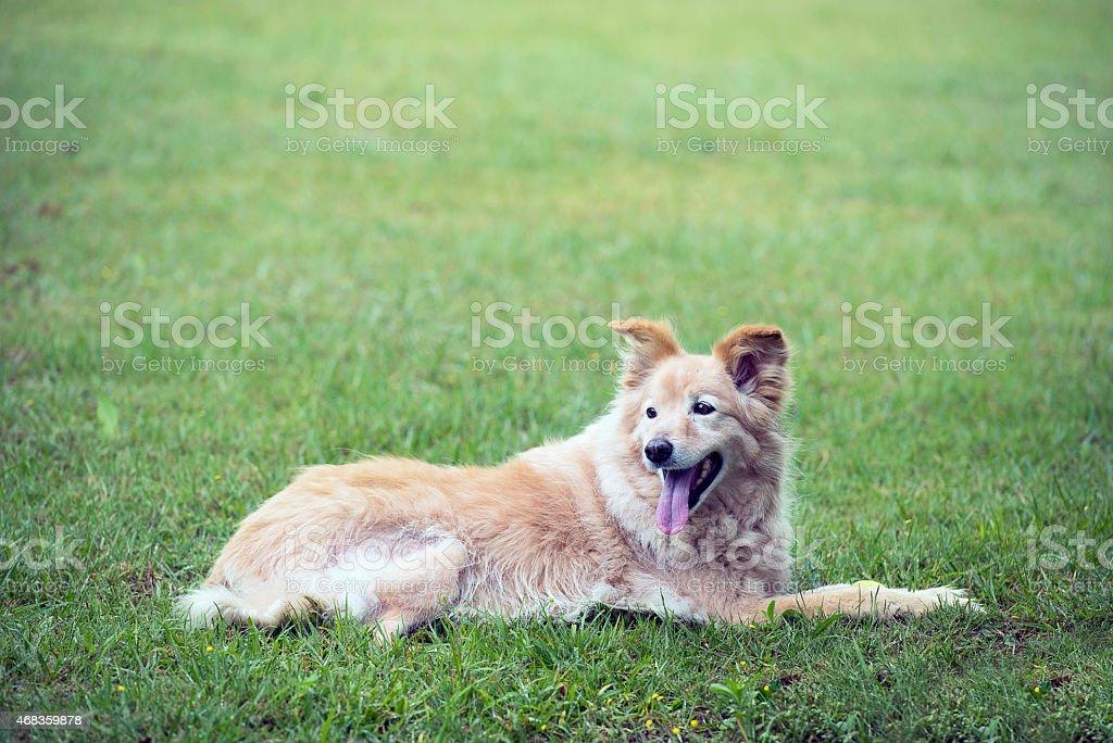 cross breed golden retriever labrador lying on the grass royalty-free stock photo