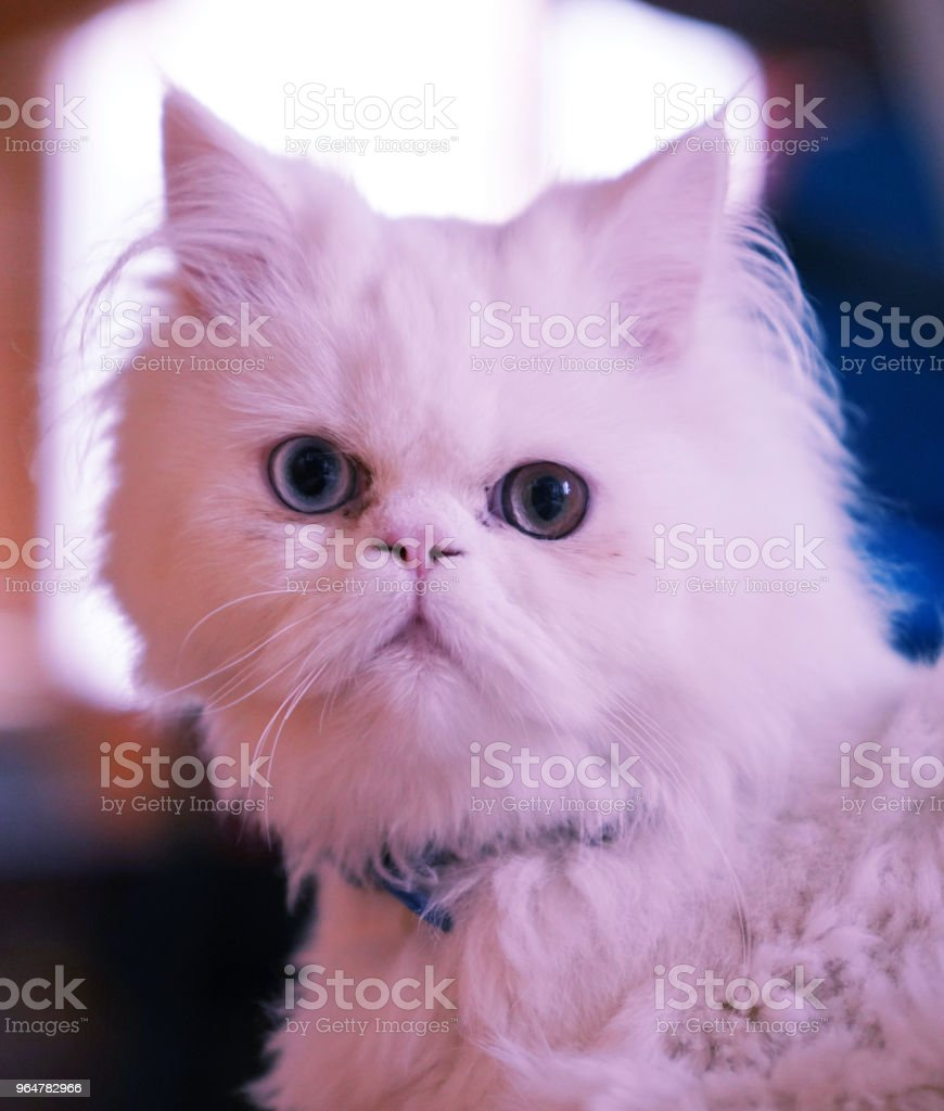Cross breed (Persian and Turkish Van) white cat sitting with blue collar and looking with odd eyes royalty-free stock photo