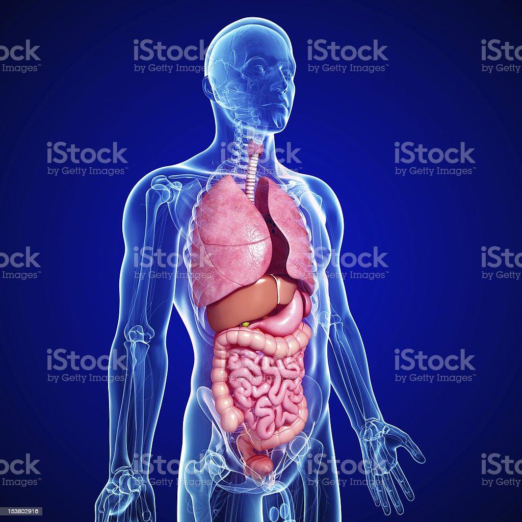 Querschnitt Alle Teile Des Menschlichen Körpers Stock-Fotografie und ...