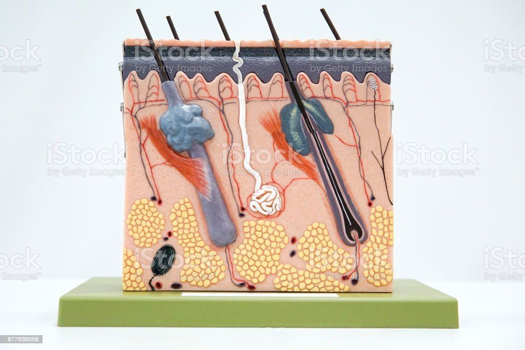 Cross section human skin tissue model for education stock photo