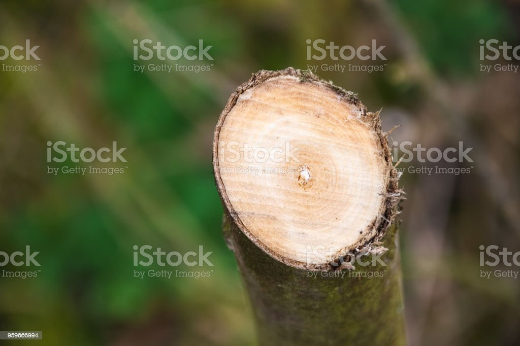 Cross section of a tree in woodland in England stock photo