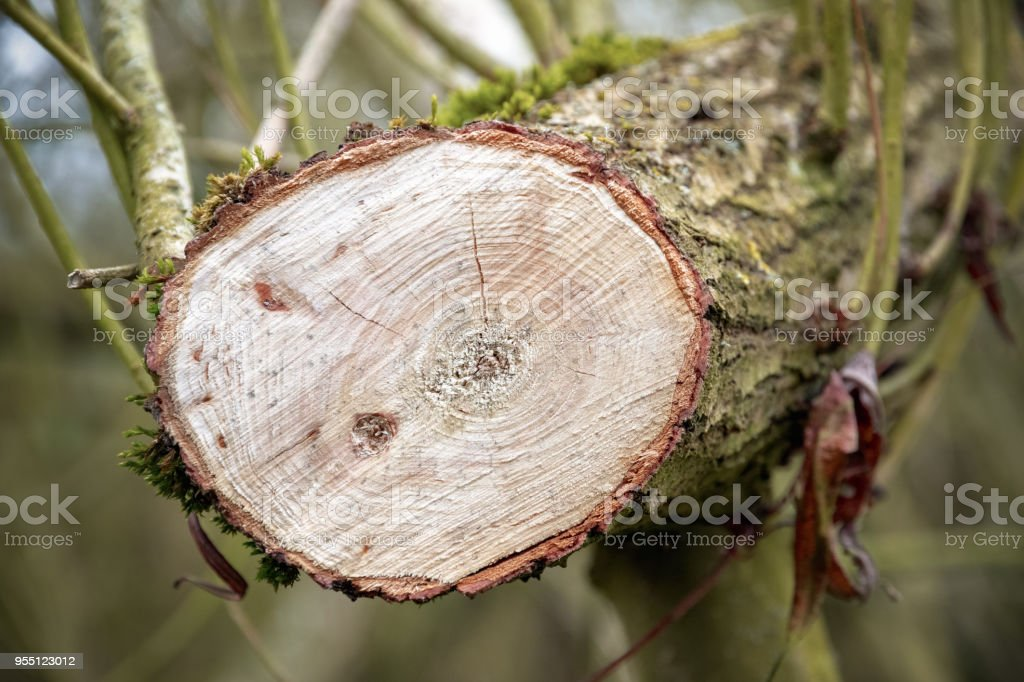 Cross section of a tree in woodland stock photo