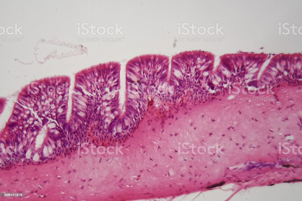 Cross section of ciliated epithelium under the microscope stock photo