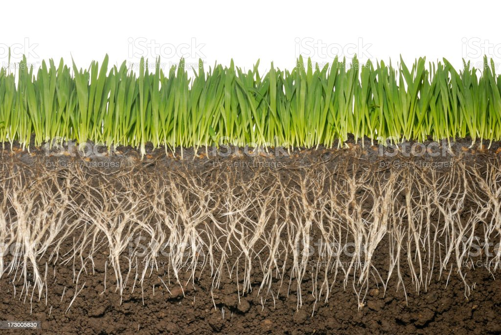 Cross section of grass and grass roots with soil stock photo