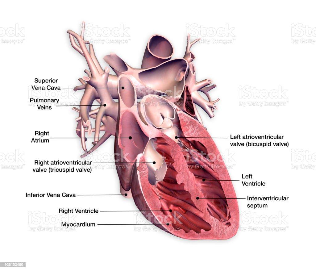 Sección Transversal De Corazón Con Etiquetas En Fondo Blanco ...