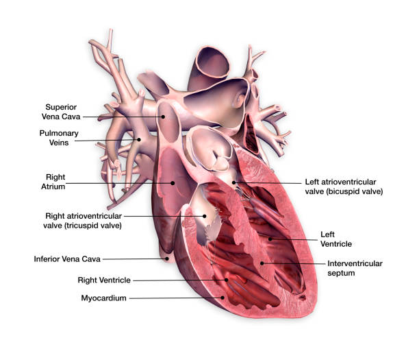 cross section of heart with labels on white background - diagram stock pictures, royalty-free photos & images