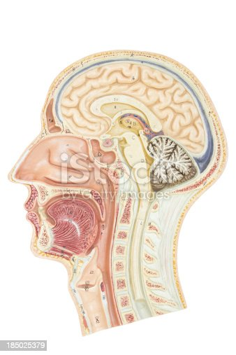 istock Cross section of human head 185025379