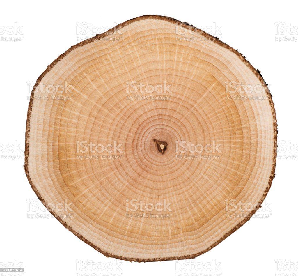 Cross section of larch tree trunk showing growth rings isolated on white background. stock photo