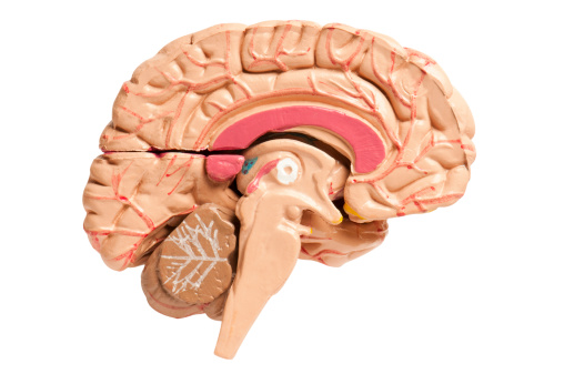 Cross section of the human brain on a white background with clipping path