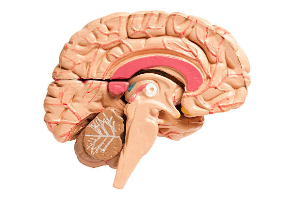 Cross section of the human brain on white background Cross section of the human brain on a white background with clipping path cerebral aqueduct stock pictures, royalty-free photos & images