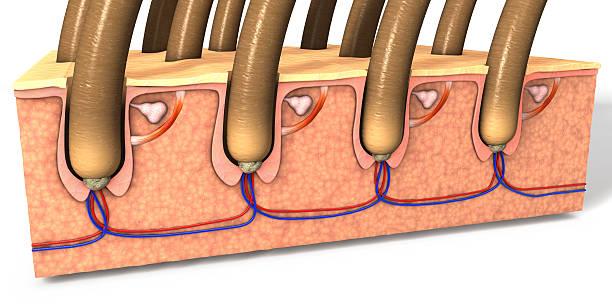 cross section of the human skin with hair follicles - schichthaare stock-fotos und bilder