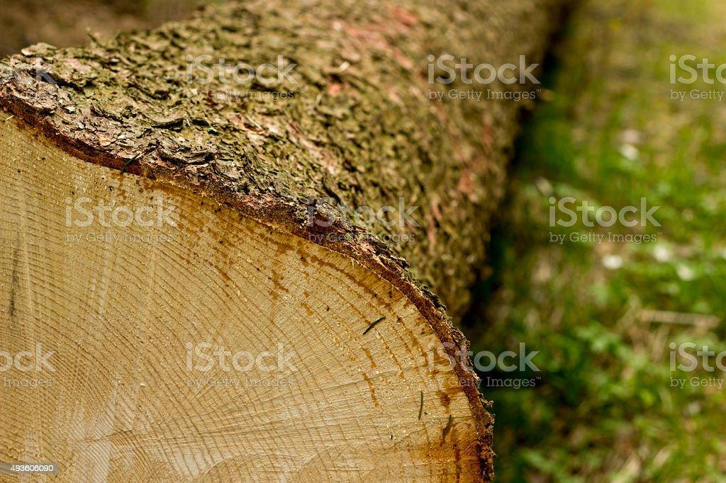 Sección transversal de árbol - foto de stock