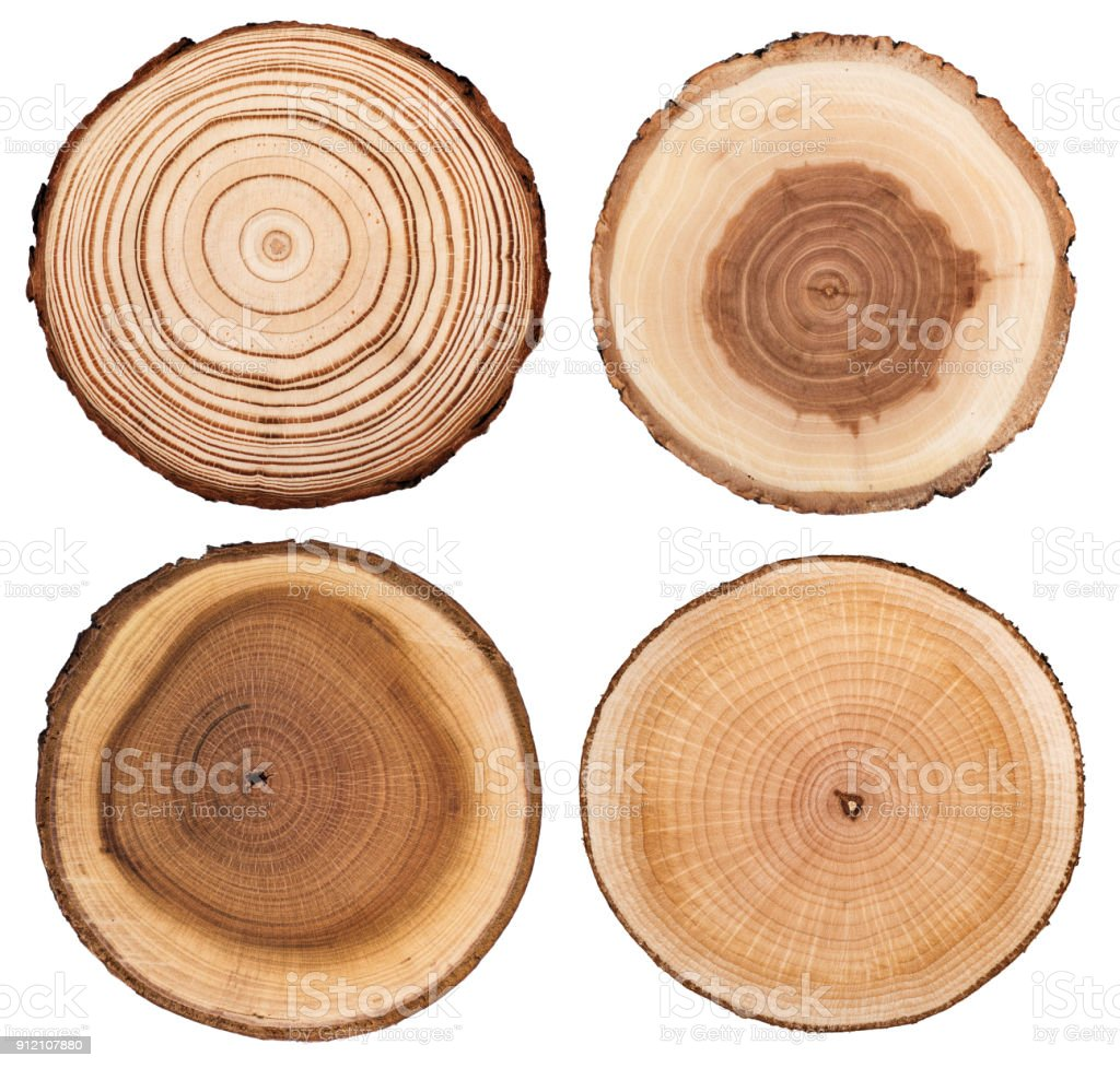 Cross section of tree  showing growth rings isolated on white background stock photo