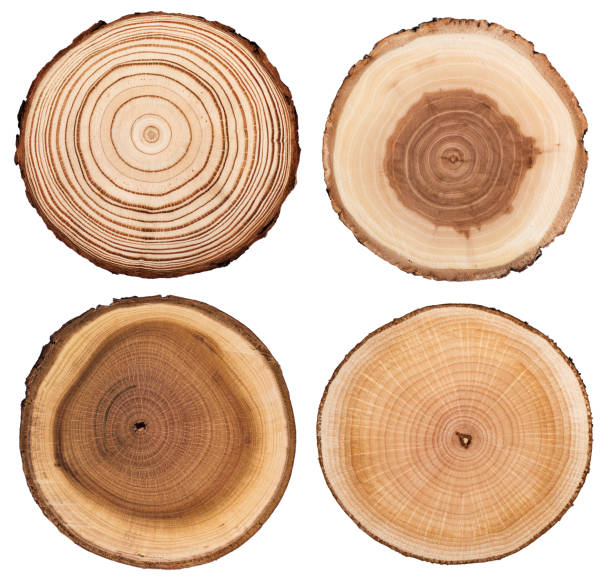 Cross section of tree  showing growth rings isolated on white background Cross section of tree  showing growth rings isolated on white background log stock pictures, royalty-free photos & images