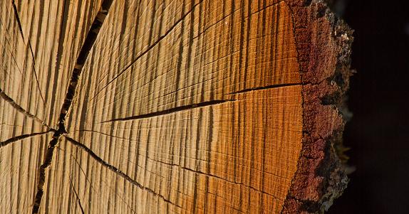 Cross Section of Tree Trunk - Corte Transversal de Tronco de Arbol