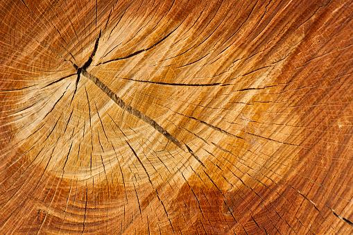 Cross Section of Tree Trunk - Corte  Tronco de Arbol