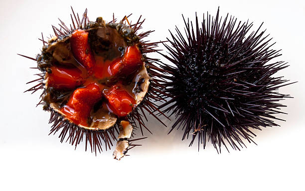 Cross sectional view of sea urchin stock photo