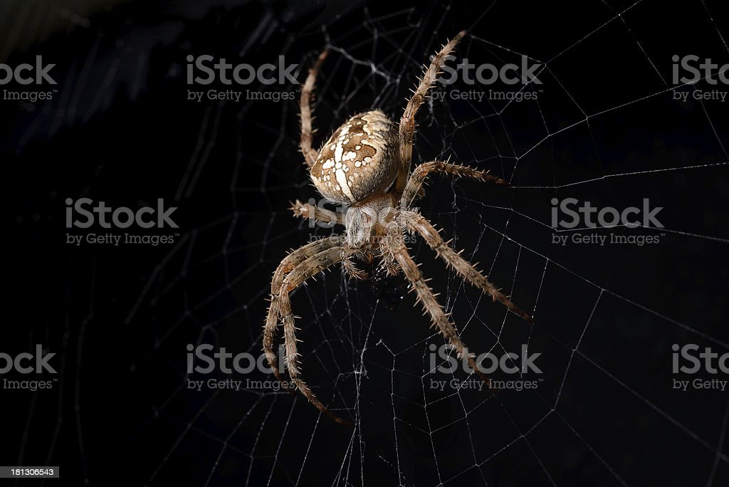 Cross Spider eating stock photo