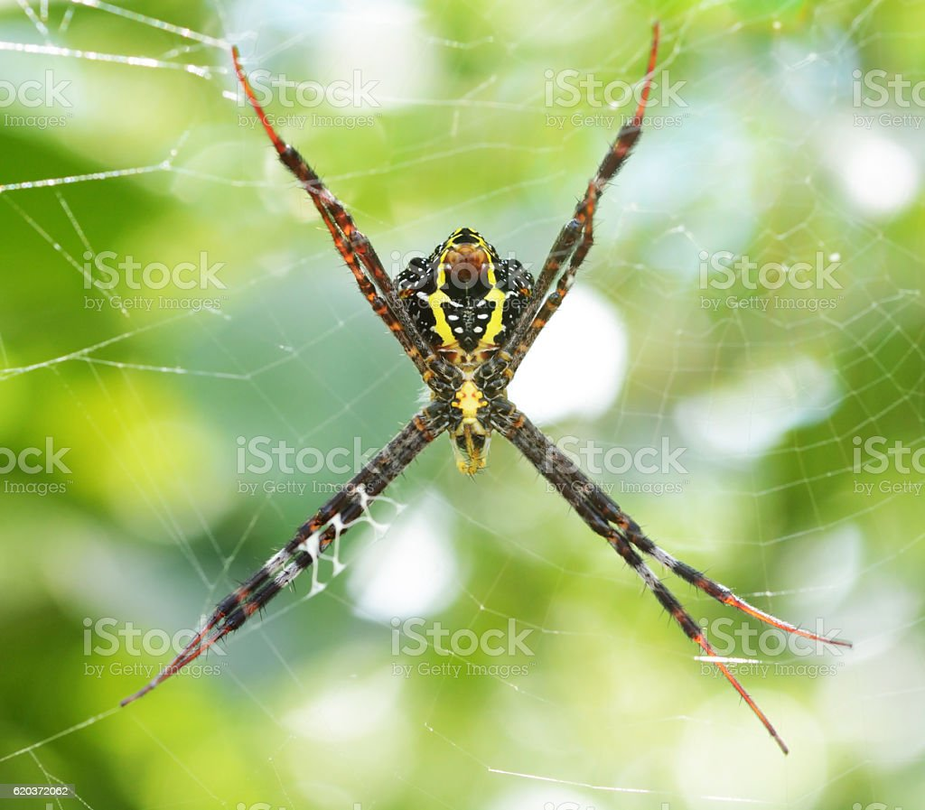 Cross Spider in forest foto de stock royalty-free
