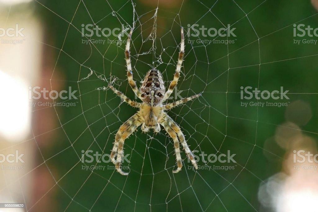 Überqueren Sie die Spinne in ihrem Netz vor einem grünen Hintergrund – Foto