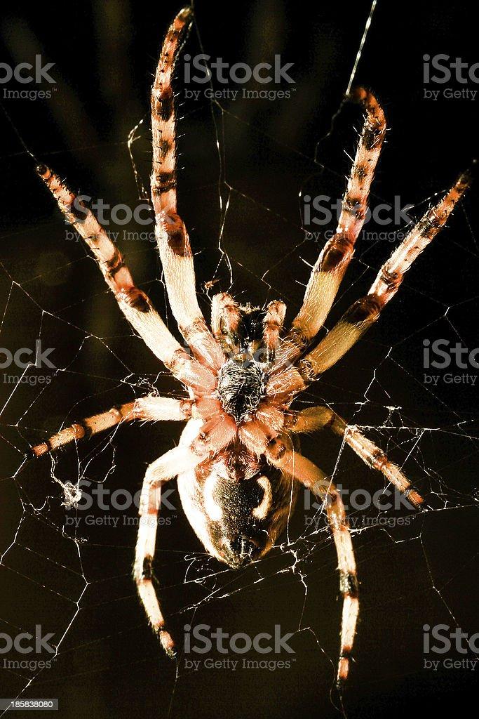 Cross spider macro royalty-free stock photo