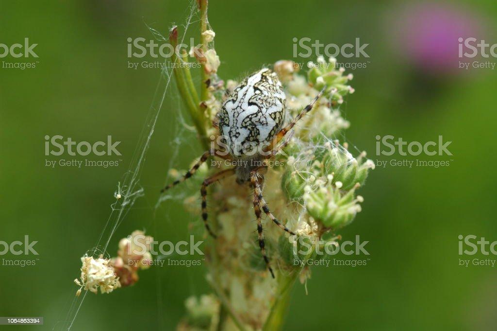 Cross Spider auf einer Blüte – Foto